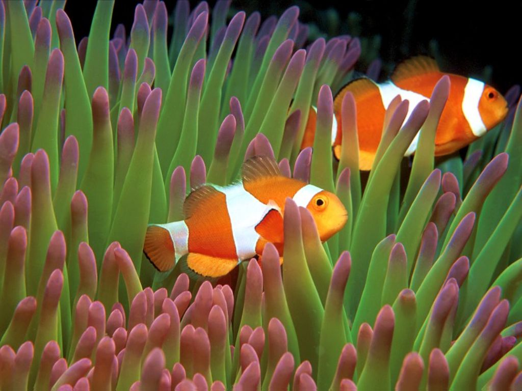 Careshymharz for Pictures of clown fish